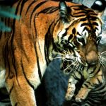 The Tiger Mother In Us