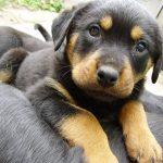Growl Halle-Rottweiler!